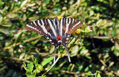 Zebra Swallowtail (Larah McElroy) Tags: photograph photography picture pictures larah mcelroy larahmcelroy bug bugs insect insects butterfly butterflies macro swallowtail swallowtails zebraswallowtail zebraswallowtails zebraswallowtailbutterfly