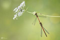 Vuurjuffer - Pyrrhosoma nymphula (rinus64) Tags: d500 nikon dragonfly vuurjuffer pyrrhosomanymphula waterjuffer