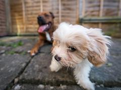 Did you say something?? (C.A.Photogenics) Tags: sony a7rii dogs cavachon cava