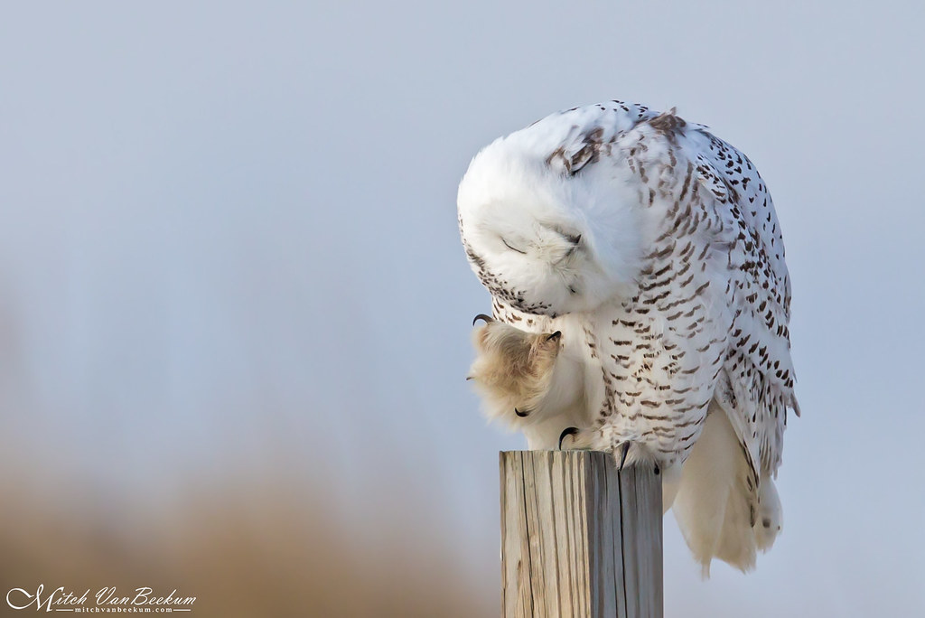 A Real Head Scratcher - Snowy Owl (Explored)