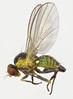 Liriomyza flaveola female, nr Maentwrog, North Wales, Aug 2017 (janetgraham84new) Tags: liriomyza flaveola agromyzidae