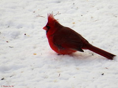 Cardinal in the snow. (~~BC's~~Photographs~~) Tags: bcsphotographs canonsx50 cardinals birds winter aroundthefarm kentuckyphotos closeups outdoors snow birdfeeder ourworldinphotosgroup earthwindandfiregroup explorekentucky