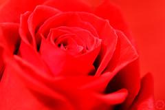 r o s e s   a r e    r e d ... (NadzNidzPhotography) Tags: nadznidzphotography macromondays monochrome red rose monochromatic monochromaticred 7dwf freetheme macro mono