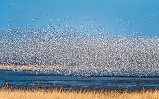 Flock...!