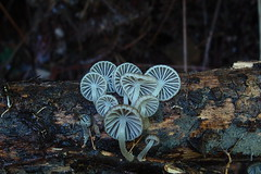 P1258190 Mycena sp. (razor4343) Tags: mycenasp mycena arffungi arfp qrfp tropicalarf gillspores myblock mycenaceae
