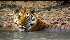 BBC Big Cats. Amazing!! (christianiani) Tags: bbc bigcats tigers lions pumas panthers cheetahs programme amazing