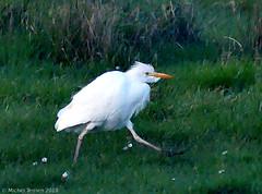 Héron garde-bœufs (zogt2000 (No Video)) Tags: hérongardebœufs oiseau bird maraisdelescors