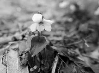 Tiny white Violet emerges from the undergrowth