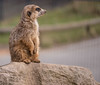 There must be some way out of here (fotogake) Tags: meerkat erdmännchen zoo tier animal