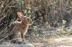 Cottontail (Karen_Chappell) Tags: rabbit bunny animal nature travel cottontail california orangecounty bolsachicaecologicalreserve cute