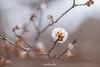20180120-IMG_2407 (nut_cookie) Tags: flower flowers macrophotography nature tree floral bloom ume plum plumflower plumblossom