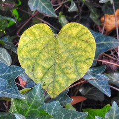Heart found in Nature (AngelVibePhotography) Tags: green plant vine heart nature closeup detail greenery raleighnc nikon colorful beautiful garden northcarolina photography macro nikonp900 outdoors outdoor depthoffield leave leaves leaf