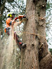 Tree Removal (Tree Access) Tags: belgrave clients treeaccess family home