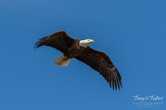 Bald Eagle flyby - 5 of 6