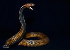 EthiopianCobraFullAngry (TRAdamson Photography) Tags: reptiles reptilephotography snake snakes herpetology herps biology reptile beautiful cobra mamba elapidae elapids elapid neurotoxic venomous venom exotic
