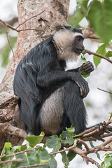 A colubus monkey snacking (10b travelling / Carsten ten Brink) Tags: 10btravelling 2017 africa african afrika afrique boabeng brongahaforegion carstentenbrink fiema ghana ghanaian goldcoast iptcbasic life places techiman westafrica biodiversity colubus eating ecotourism leaf mammal mona monkey park sanctuary snacking tenbrink