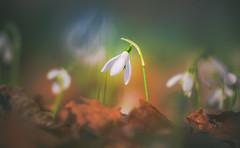 Spring Crocus, Snowdrops series - 12 (Dhina A) Tags: sony a7rii ilce7rm2 a7r2 135mm f28 t45 stf sony135mmf28stf sal135f28 smoothtransitionfocus minolta smooth soft silky bokeh bokehlicious apodization spring crocus snowdrops