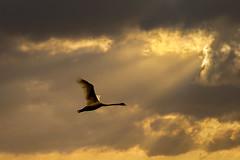Golden Flight Path (adrians_art) Tags: mutwswans flight birds wings sky clouds rays silhouettes shadows light dark nature wildlife gold yellow red orange amber evening
