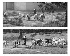 Herding Cattle Kanha Tiger Preserve Border Zone India (JKIESECKER) Tags: peopleandnature protectedareas tigers kanhatigerpreserve blackandwhite blackwhite india herders cattle livestock landscape portrait people peoplenature peopleportraits