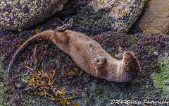The art of relaxation (davidrhall1234) Tags: otter europeanotter–lutralutra eurasianotter animal oban coastal coast countryside harbour scotland shore shoreline sea outdoors world wildlife mammal nature nikon coth5