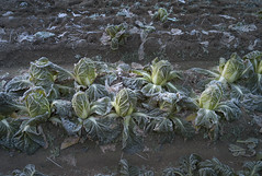 Winter vegetable field by mokuu - 福岡市東区 / LEICA M8.2 × ELMAR-M 24mm F3.8 ASPH. / CP C1 28 004 / mokuu.cc/2018/02/post-379.html