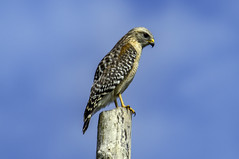 Red Shouldered Hawk (Charles Patrick Ewing) Tags: hawk redshouldered bird raptor birds animal animals nature natural outdoor tree sky skies cloud clouds beautiful new all everything great red blue