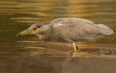 Black-crowned Night Heron (Nycticorax nycticorax) (fugle) Tags: nevada reno virginialake washoeco heron blackcrownednightheron