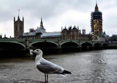 DSC_2012 (Maryna Beliauskaya) Tags: gull london england bigben bird bridge citylandscape city travel urban water building sky tower
