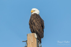 January 1, 2018 - A regal Bald Eagle in Adams County. (Tony's Takes)