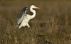SycamoreGrovePark_030418_183 (kwongphotography) Tags: livermore ca calif wildlife wildlifephotography nature naturephotography livermorearearegionalparkdistrict sycamoregrovepark ornithology birdwatching birdlovers greategret egret birdsinflight unitedstates