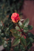 ILCE-7M2-09954-20180116-1243 // Vivitar MC Close Focus Wide Angle 28mm 1:2 (Otattemita) Tags: 28mmf20 florafauna vivitar vivitarkomine vivitarmcclosefocuswideangle28mmf20 fauna flora flower nature plant wildlife vivitarmcclosefocuswideangle28mm12 sony sonyilce7m2 ilce7m2 28mm cnaturalbnatural ota