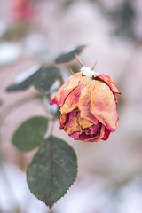 Dichotomy (hmthelords) Tags: wabisabi winter faded nature outdoors beauty rose flowers countryliving snow