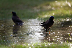 uk 2G6A0043 (uday khatri photography) Tags: udaykhatriphotography fine art amazing abstract ahmedabad animal bird birds beautiful bulbul crow india udaykhatri beauty morning micro canon creative care wildlife water bath working winter two robin nature garden farm