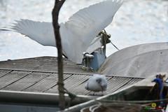 A-LUR_3944 copia (OrNeSsInA) Tags: nature lago trasimeno aironi byrd airon nikon ornessina