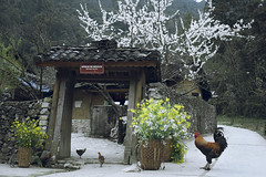 Nhà Pao (trieu_van_194) Tags: vietnamtrip vietnamtravel trip travelphotography travelphoto travel chicken flower hagiang vietnam landscapes vietnamlandscape lands photogrpahy
