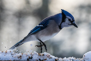 The blue jay dance