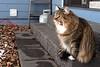 Hey Winter! (backbeatb00gie) Tags: cat elsie outside winter yawn backyard tongue sunshine cold littledoglaughedstories