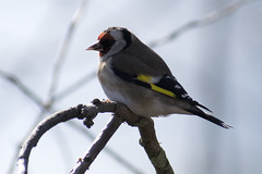 """goldfinch-b • <a style=""""font-size:0.8em;"""" href=""""http://www.flickr.com/photos/157241634@N04/39774305444/"""" target=""""_blank"""">View on Flickr</a>"""