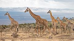 Stately Beauties (tkfranzen) Tags: masaigiraffe giraffe conservaion iucnvulnerable africansafari africanwildlife africa tnclivenature animalplanet