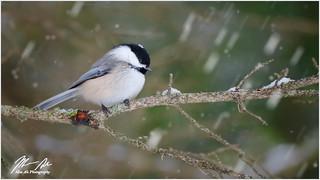 Enjoying the Snow - Chickadee
