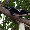 Creative Commons Monkey relaxing in a tree above Mount Meru Game Lodge Arusha Hotel (goTraveltipster) Tags: creative commons monkey africa safari black white relaxing comfortable tree animals