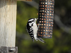 A downy woodpecker feasting at the Fletcher Wildlife Garden in Ottawa, Ontario (Ullysses) Tags: downywoodpecker fletcherwildlifegarden ottawa ontario canada bird winter hiver picoidespubescens
