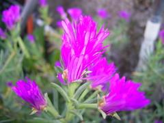 PIC_1414 (Carlos RT.) Tags: flores rosa planas hermosura