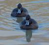 Female Tufted Ducks(Aythya fuligula) (jdathebowler Thanks for 1.5 Million + views.) Tags: aythyafuligula femaletuftedducks wildfowl divingduck aves speciesafuligula genusaythya orderanseriformes familyanatidae