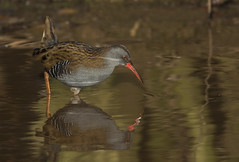 Water rail - The king of self preservation! (Ann and Chris) Tags: waterrail middletonlakes bird wader wild wildlife reflection water lake canon7dmarkii nature birdphotography avian