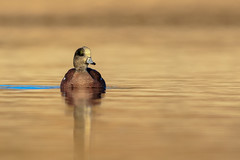 Out Of The Fog (gilamonster8) Tags: wigeon american duck bird animal fog lake gold golden pongd explore eos explored ef400mm56l 7dmarkii canon common color flickrelite water white waterbird ngc bokeh