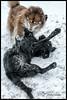Tickle My Tummy! (Missy2004) Tags: nikkorafs18140mmf3556gedvr finnishlapphund flatcoatedretriever tasku tiva snow play 118picturesin2018 16118 grateful