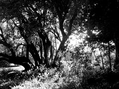 In the woods, lost in thought. (vickilw) Tags: 7daysofshooting week29 serene blackandwhitewednesday thehuntington tree woods bw