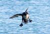 White-winged Scoter, Brant Point, ACK (LeeDunnPhotos) Tags: brantpoint frozen goodlight harbor ice landing sun touchdown whitewingedscoter