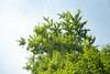 L1018965c (haru__q) Tags: 大雷神社 leica m8 leicam8 minolta rokkor tree leaf 木 葉